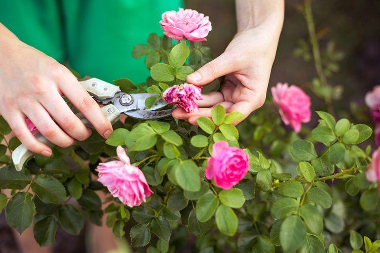 Memotong Bunga yang Kering dan Mati